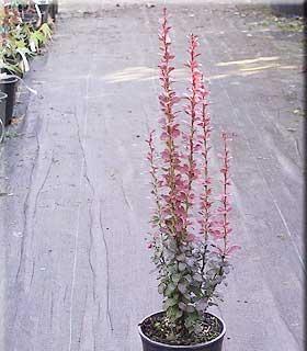 Berberis thunbergii 'Helmond Pillar'