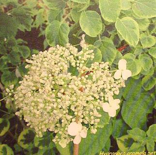 Hydrangea anomala ss. petiolaris 'Mirranda'