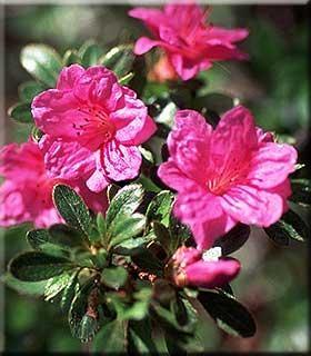 Rhododendron kiusianum 'Murasaki Shikibu'
