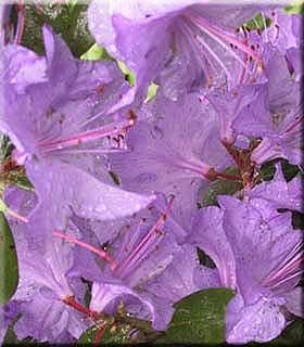 Rhododendron 'Blaney's Blue'