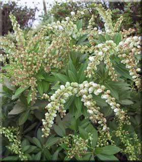 Pieris japonica v. yakushimanum 'Sarabonde'