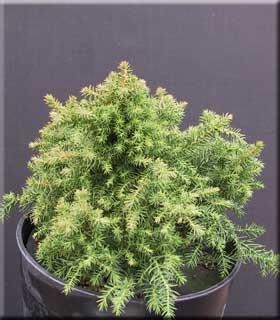 Cryptomeria japonica 'Koshyi'