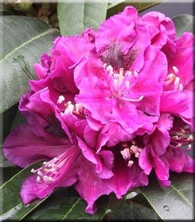 Rhododendron 'Jonathan Shaw'
