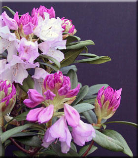 Rhododendron 'Pontiyak'