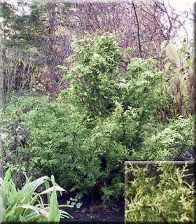 Chamaecyparis obtusa 'Kamaeni Hiba'