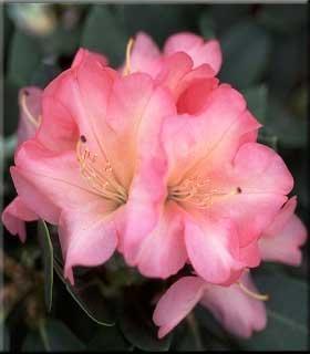 Rhododendron 'Bruce Brechtbill'