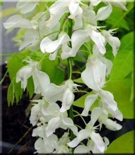 Wisteria floribunda 'Shiro noda'