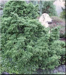 Cryptomeria japonica 'Tansu'