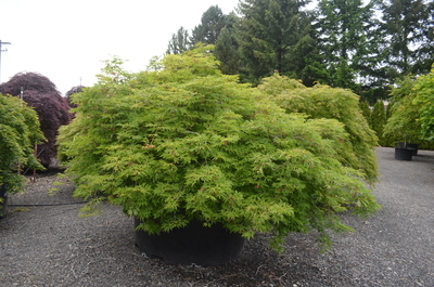 Acer Japonicum Green Cascade Japanese Maples Ornamental Trees