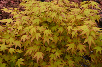 Acer Palmatum Akane Japanese Maples Ornamental Trees