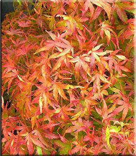 Acer palmatum 'Akita yatsubusa'