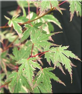 Acer palmatum 'Beni shichihenge'