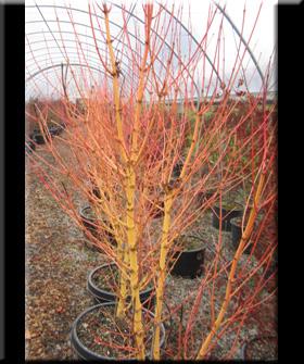 Acer Palmatum Bihou Japanese Maples Ornamental Trees