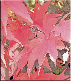 Acer palmatum 'Crimson Prince'
