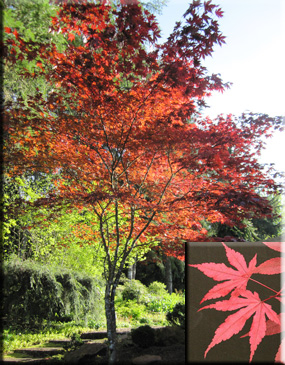 Acer Palmatum Fireglow Japanese Maples Ornamental Trees