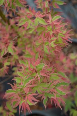Acer palmatum 'Kagiri nishiki'