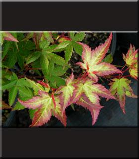 Acer Palmatum Komachi Hime