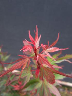 Acer palmatum 'Kuro hime'