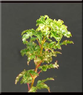 Acer palmatum 'Ojishi'