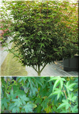 Acer palmatum 'Shishio hime'