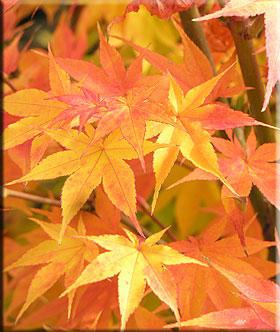 Acer Palmatum Winter Flame Japanese Maples Ornamental Trees