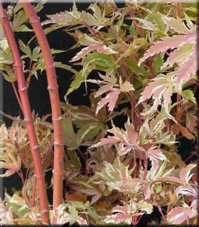 Acer palmatum 'Butterfly'