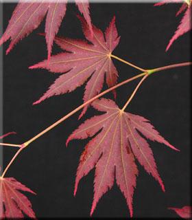 Acer shirasawanum 'Johin'