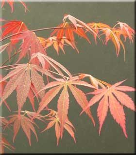 Acer Palmatum Kinran Japanese Maples Ornamental Trees