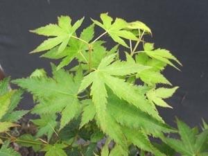 Acer palmatum 'Peve Multicolor'