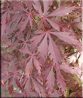 Acer palmatum 'Pixie'