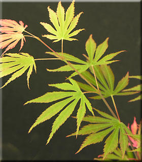 Acer shirasawanum 'Sensu'