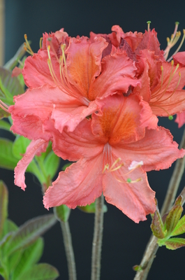 Azalea (salmon/orange throat)