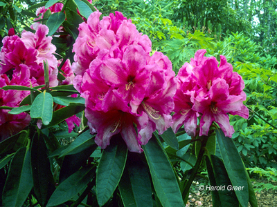 Rhododendron 'Anna'
