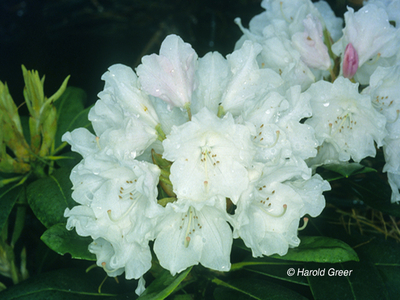 Rhododendron 'Anna H. Hall'