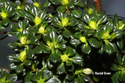 Azalea 'Hardy Gardenia'