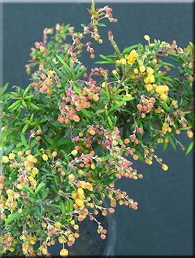 Berberis x stenophylla 'Corallina Compacta'