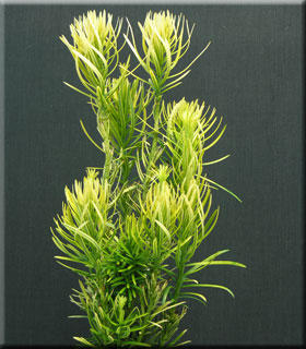 Cephalotaxus harringtoniana 'Korean Gold'