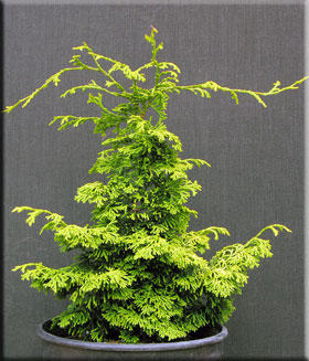 Chamaecyparis obtusa 'Ceramic'