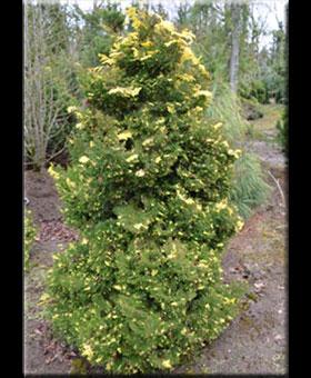 Chamaecyparis obtusa 'Saffron Spray'