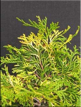 Chamaecyparis obtusa 'Sparkles'
