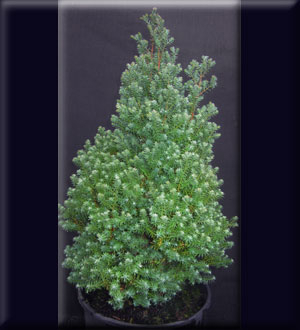 Chamaecyparis thyoides 'Red Star'