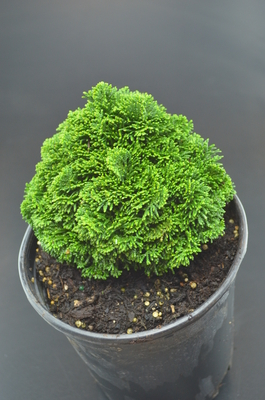 Chamaecyparis obtusa 'Hage'