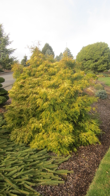 Chamaecyparis obtusa 'Lemon Twist'