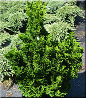 Chamaecyparis obtusa 'Little Anne'