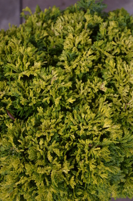 Chamaecyparis pisifera 'Golden Pin Cushion'