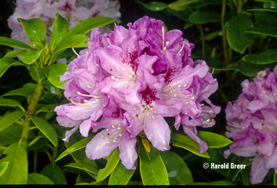Rhododendron 'Cheer'