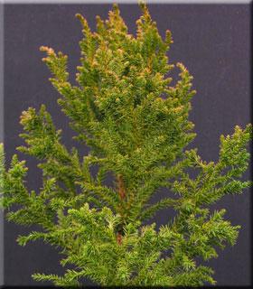 Cryptomeria japonica 'Conica'