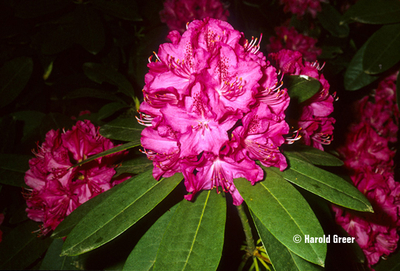 Rhododendron 'Cynthia'