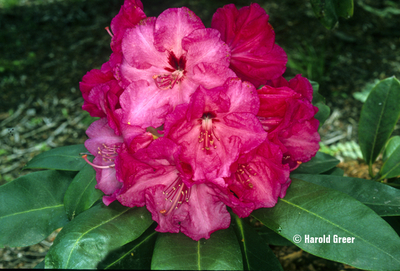 Rhododendron 'Gentle Giant'