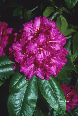 Rhododendron 'Grand Slam'